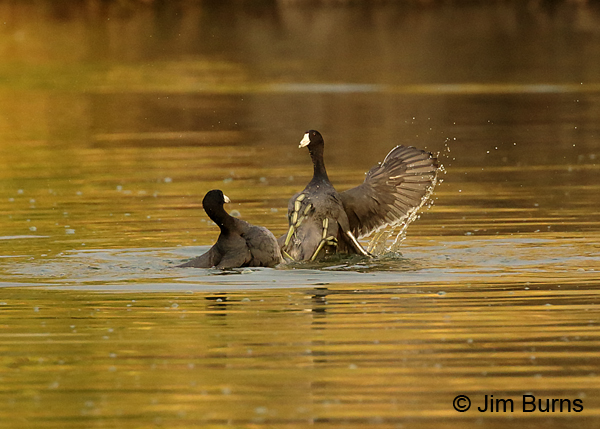Coot Fight #2