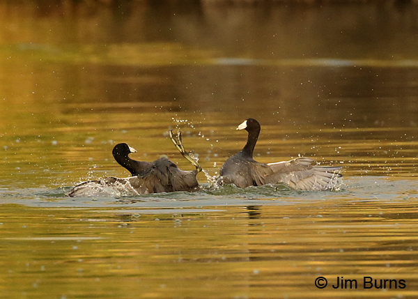 Coot Fight #4