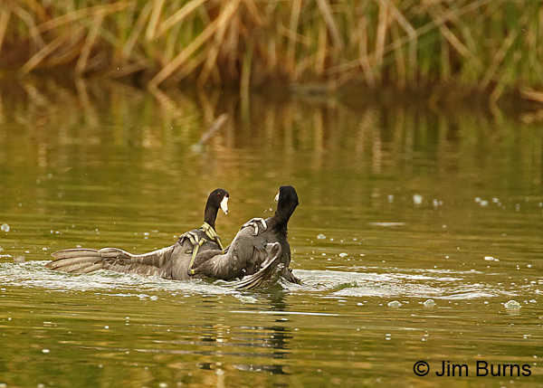 Coot Fight #5