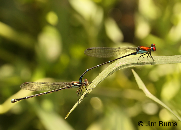 Coppery Dancer pair in tandem, Edwards Co., TX, August 2013