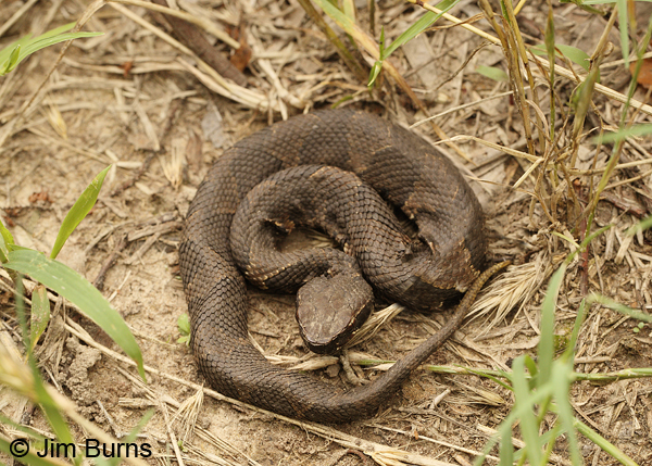 Eastern Cottonmouth baby
