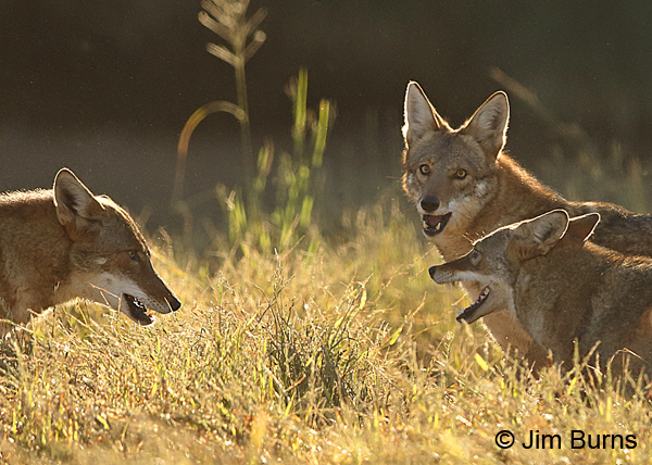 Coyote conference