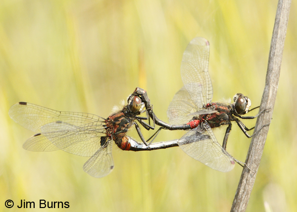 Crimson-ringed Whiteface pair in wheel, Lake Co., MN, July 2012