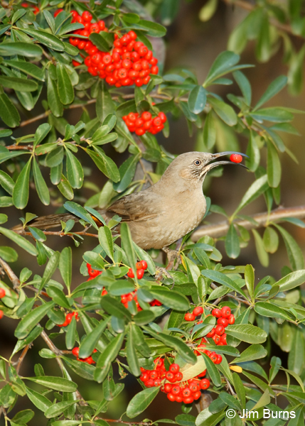 Crissal Thrasher in Pyracantha