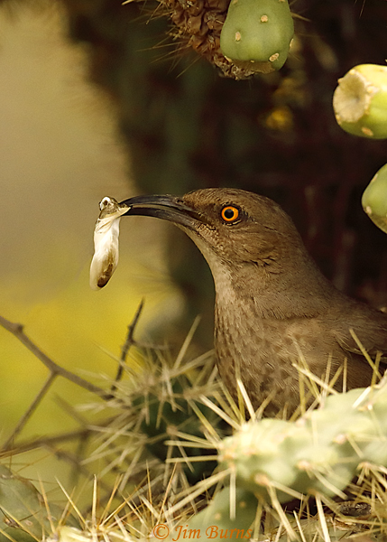 Curve-billed Thrasher removing fecal sac from nest--0442