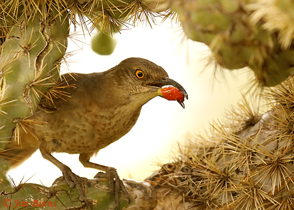 Curve-billed Thrasher bringing cactus fruit for nestlings--0456