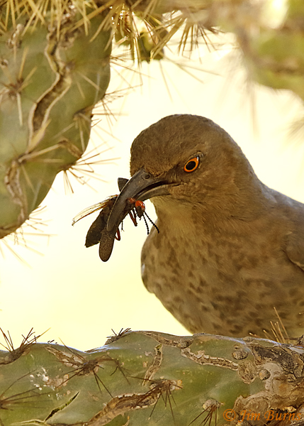 Curve-billed Thrasher entering nest with Soldier Beetle for nestlings--0708