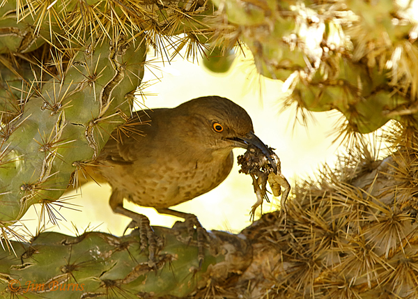Curve-billed Thrasher entering nest with lizard for nestlings--0952