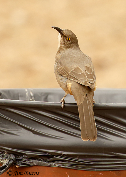 Curve-billed Thrasher dumpster diving--1050