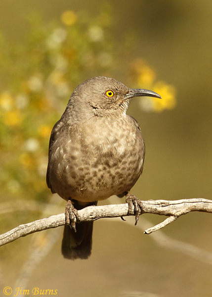 Curve-billed Thrasher in Creosote Bush--1221