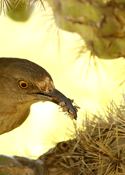 Curve-billed Thrasher entering nest with 6 insect items for nestlings--1298