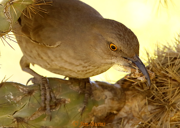 Curve-billed Thrasher entering nest with grasshopper for nestlings--1320