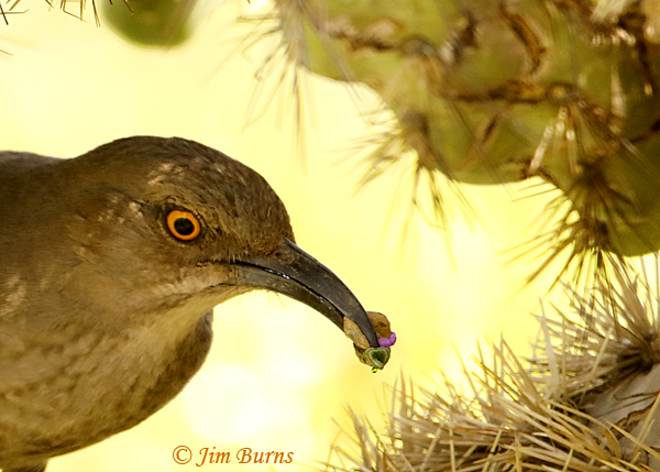 Curve-billed Thrasher entering nest with smorgasbord for nestlings--1528