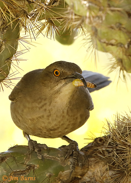 Curve-billed Thrasher entering nest with insect grub for nestlings--1577