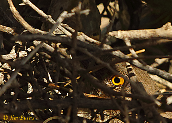 Curve-billed Thrasher on nest--1702