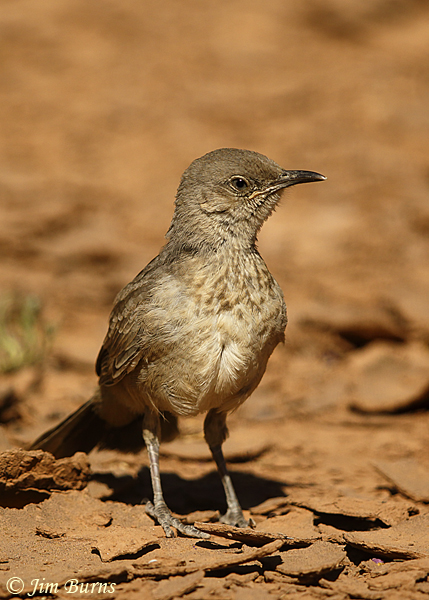 Curve-billed Thrasher fledgling ten days out of nest--1864