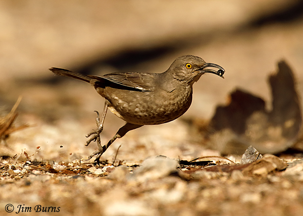 Curve-billed Thrasher running with Fan Palm berry--4938