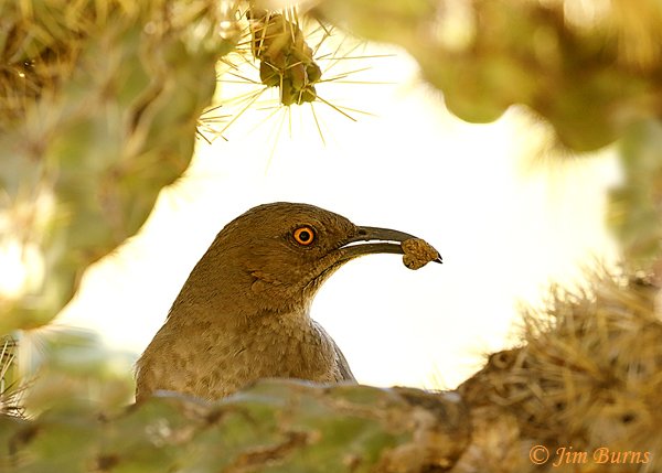 Curve-billed Thrasher entering nest with moth for nestlings--0540