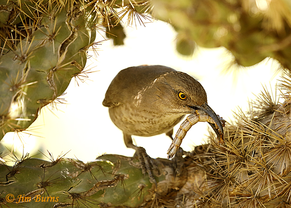 Curve-blled Thrasher entering nest with tailless lizard for nestlings--0560