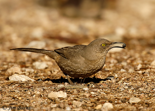 Curve-billed Thrasher with Fan Palm berry--4893