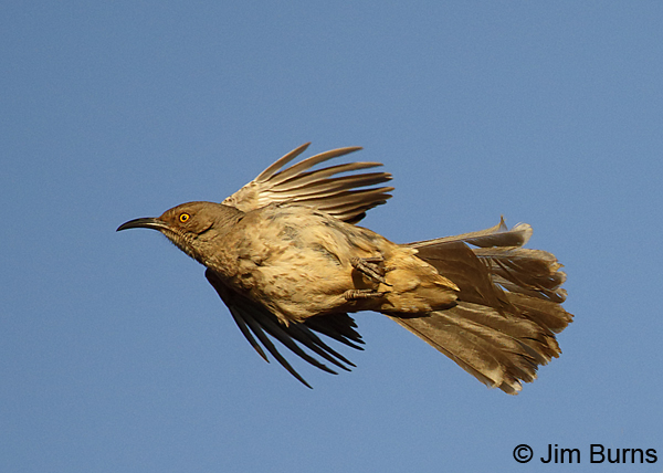 Curve-billed Thrasher ventral