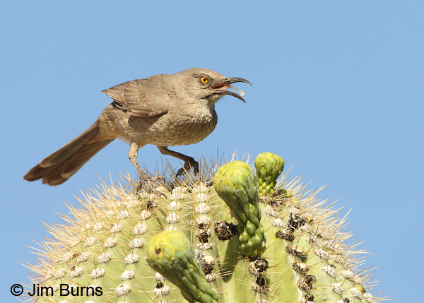 Curve-billed Thrasher at Saguaro fruit