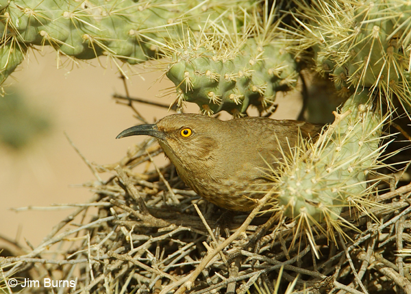 Curve-billed Thrasher at nest