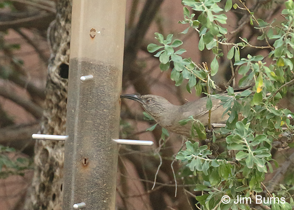 Curve-billed Thrasher at seed feeder