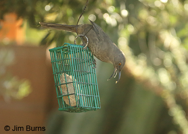 Curve-billed Thrasher at suet feeder