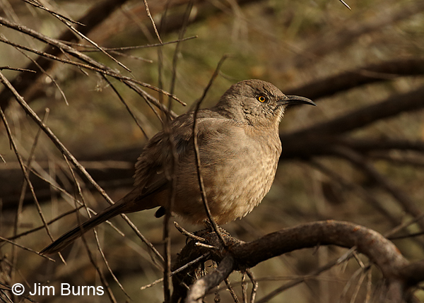 Curve-billed Thrasher feathers fluffed at 35 degrees