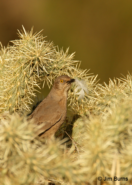 Curve-billed Thrasher feathering its nest