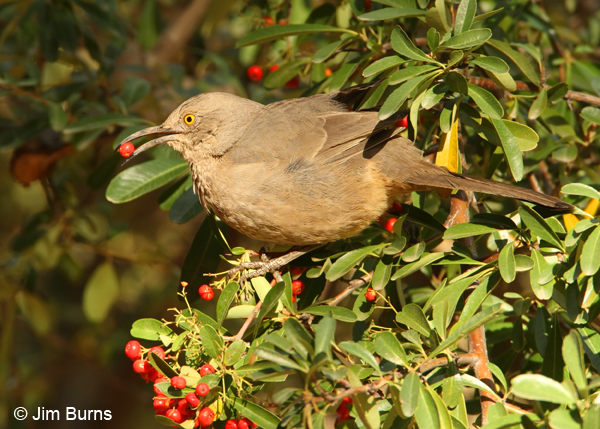Curve-billed Thrasher in Pyracantha