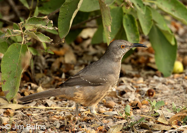 Curve-billed Thrasher oberholseri