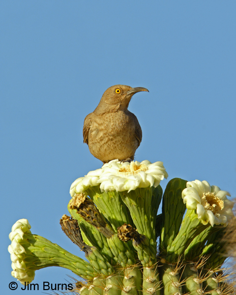 Curve-billed Thrasher on Saguaro flowers