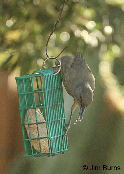 Curve-billed Thrasher on suet feeder #2