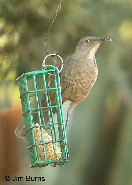 Curve-billed Thrasher on suet feeder #3
