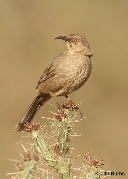 Curve-billed Thrasher palmeri
