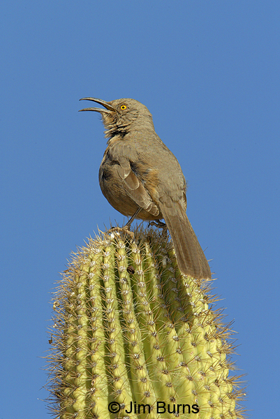 Curve-billed Thrasher singing
