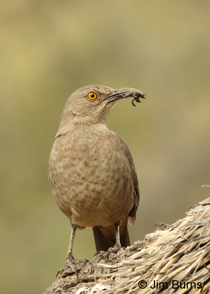 Curve-billed Thrasher with insects