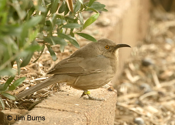 Curve-billed Thrasher with zip-tie leg band