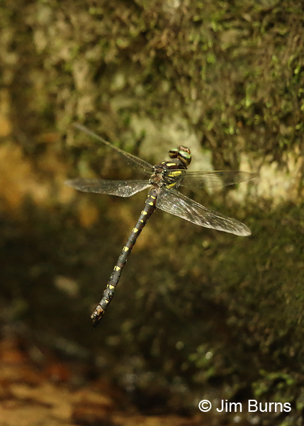 Delta-spotted Spiketail female in flight, Huntingdon Co., PA, June 2015