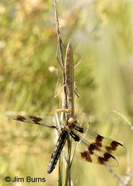 Desert Whitetail female in clutches of mantis #2, Tooele Co., UT, July 2016