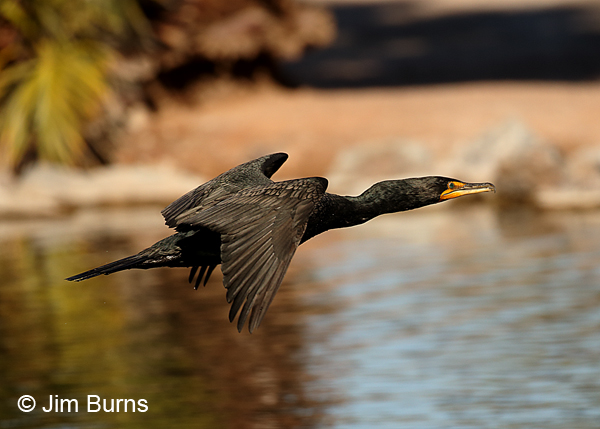 Double-crested Cormorant non-breeding plumage