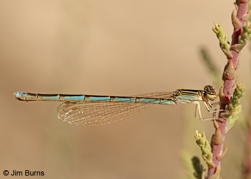 Double-striped Bluet female, Graham Co., AZ, October 2011