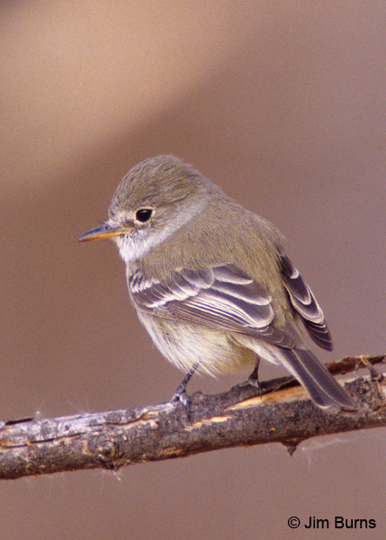 Dusky Flycatcher short primary extension