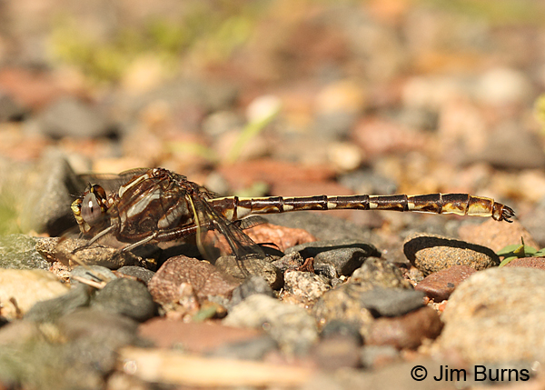 Dusky Clubtail male, Chisago Co., MN, June 2014