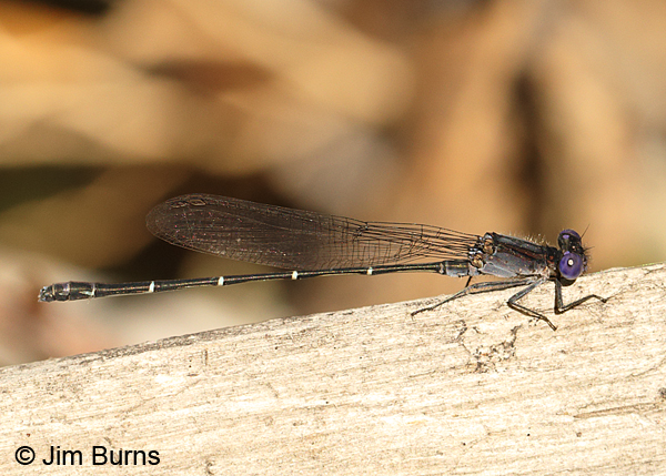 Dusky Dancer male, Cochise Co., AZ, October 2014