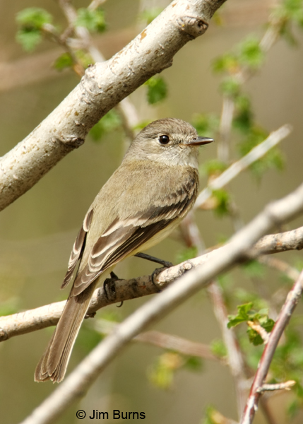 Dusky Flycatcher dorsal view
