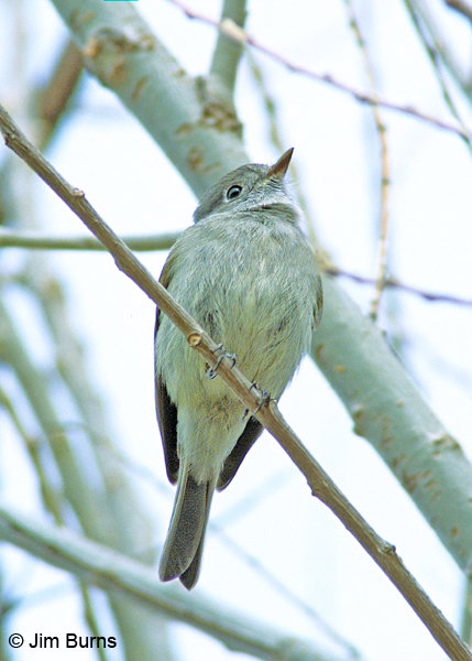 Dusky Flycatcher lower mandible