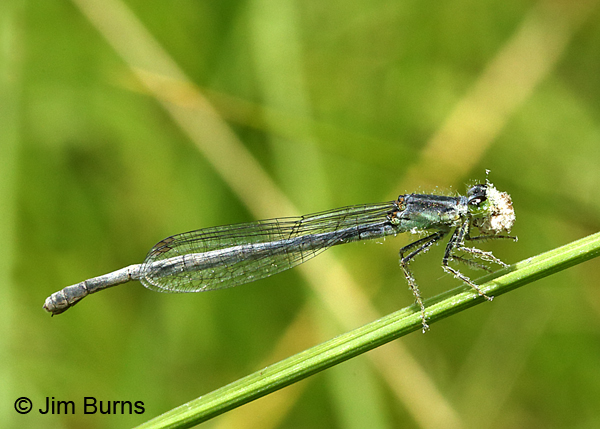 Eastern Forktail female into something white, Ozaukee Co., WI, July 2017